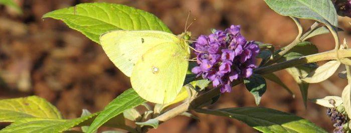 Field Trip – Wildflowers in the Blues – Sat June 16th – 8:00 AM