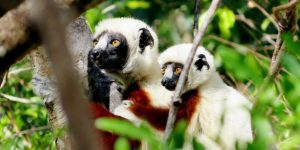 Coquerel's sifaka and her infant