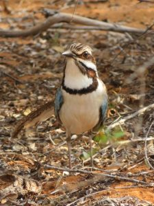 Long Tailed Ground Roller