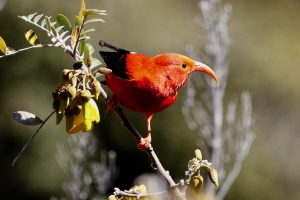 I'iwi. One of a few endemic honeycreepers.