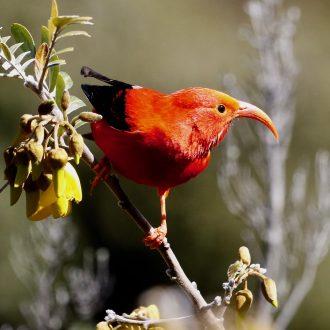 Birds of the Hawaiian  Islands