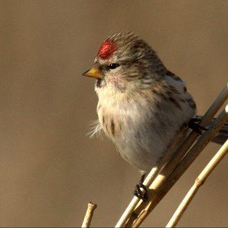 Change of Date to Sunday, Jan 19th- Field Trip-Birding Winter Wonderland