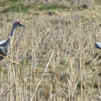 Cancelled:  March Field trip-Sandhill Cranes, Othello