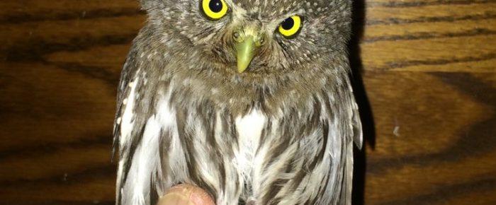 """Small Mountain Owls"", January Membership Meeting"