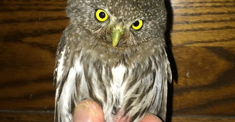 """Small Mountain Owls"", January Membership Meeting"