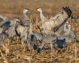 Sandhill Cranes by Larry Umthun