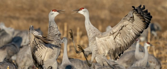 March Fieldtrip Ideas-Sandhill Cranes
