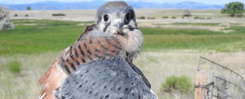 April Membership Meeting-CARRI's Barn Owl and American Kestrel Research with Scott Rashid