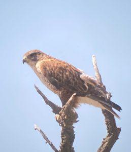 ferrigunious hawk