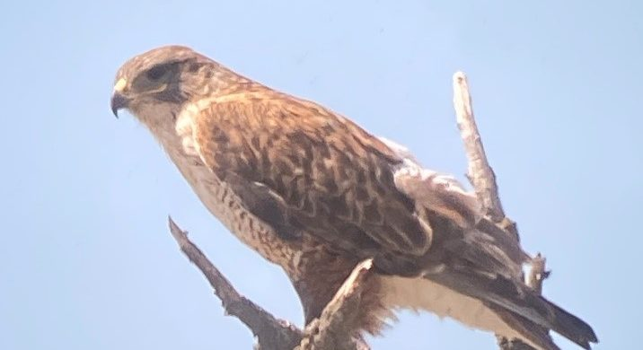 Ferruginous hawks in Washington: Historical review and current status