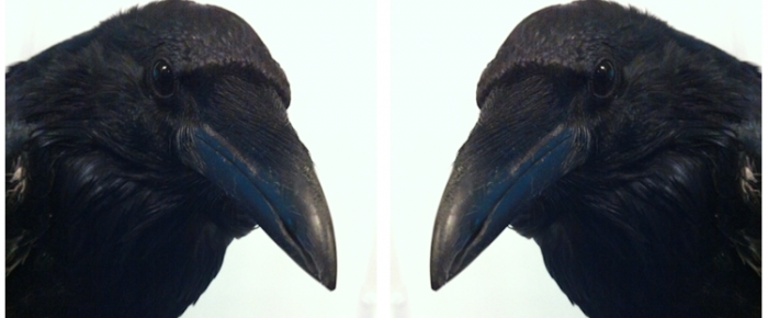 September 20 Meeting – The Lives of Crows and Ravens – 7:00 PM