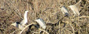 black-crown-night-heron
