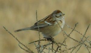 American Tree Sparrow-photo by MerryLynn Denny