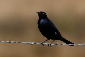 Brewers Blackbird by Jim Parrish