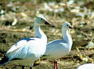 Snow Goose and Ross Goose