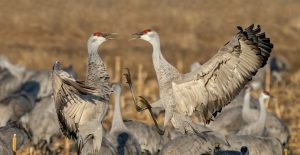 Sandhill Cranes by Larry Umthum