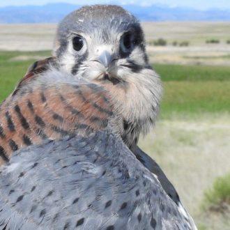 April Membership Meeting-CARRI's Barn Owl and American Kestrel Research with Scott Rashid
